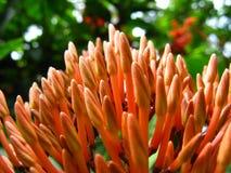 Macro colpo dei germogli del color scarlatto del fiore di Jungleflame fotografie stock