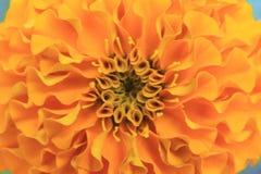 Macro colpo dei tagetes o dei petali gialli o arancio del fiore del tagete per fondo fotografia stock libera da diritti