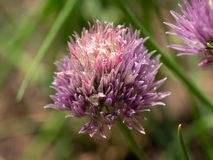 Macro colpo del fiore in erba cipollina tutto della pianta dell'erba di fase della piena fioritura Fotografia Stock Libera da Diritti