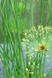 Macro colpo del fondo della natura del dettaglio della pianta del papiro Immagini Stock
