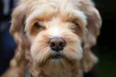 Macro colpo del naso bagnato di un cane Fotografia Stock Libera da Diritti