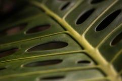 Macro colpo del Philodendron Fotografia Stock Libera da Diritti