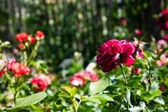 Macro colpo del primo piano di un fiore della rosa rossa Immagini Stock