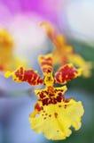 Macro colpo dell'orchidea della Malesia con il fondo di Bokeh della sfuocatura Fotografia Stock