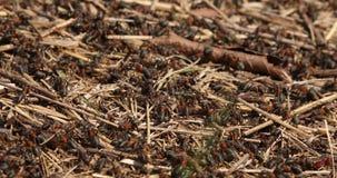 Macro colpo della colonia occupata della formica stock footage