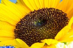 Macro colpo della fioritura gialla del girasole con le gocce di acqua Immagine Stock