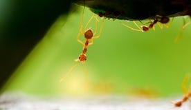 Macro colpo della formica rossa in natura con il fuoco selettivo fotografie stock