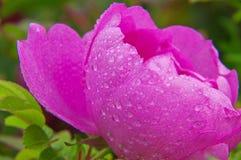 Macro colpo delle rose rosa di fioritura Immagine Stock Libera da Diritti