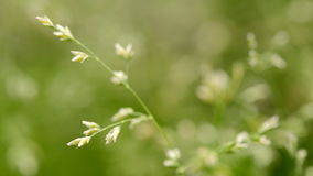 Macro colpo di erba con i semi stock footage