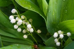 Macro colpo di lilly della valle - la molla tenera fiorisce immagine stock libera da diritti