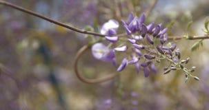 Macro colpo di piccoli fiori delle glicine video d archivio