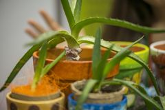 Macro colpo di piccolo cactus di vera dell'aloe in vaso giallo, decorativo, dipinto Immagini Stock
