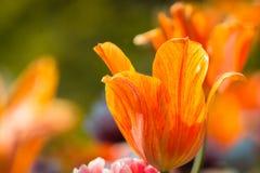 Macro colpo di un'arancia luminosa e di un tulipano rosso in fioritura su una festa dei lavoratori soleggiata fotografia stock