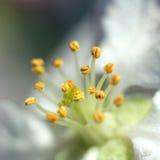 Macro colpo di un fiore di melo Fotografie Stock Libere da Diritti
