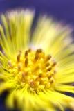 Macro colpo di un fiore giallo Fotografie Stock