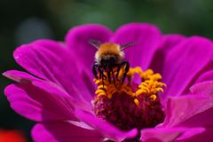 Macro colpo hoverfly sopra di un fiore porpora fotografia stock libera da diritti