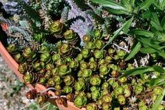 Macro colpo rustico del cactus - pianta tropicale con profondità bassa Fotografie Stock Libere da Diritti