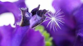 Macro colpo sul fiore e sul dente di leone porpora della petunia stessi video d archivio