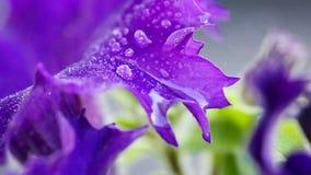 Macro colpo sulle gocce porpora del fiore e di rugiada della petunia sui petali archivi video