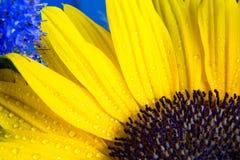 Macro colpo variopinto della fioritura gialla del girasole con le gocce di acqua Immagini Stock