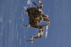 Macro común de la araña de jardín del europeo en el web Fotografía de archivo libre de regalías