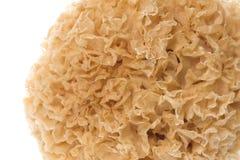 Macro commestibile del fungo bianco Fotografia Stock
