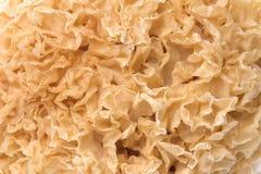 Macro commestibile del fungo bianco Immagine Stock Libera da Diritti