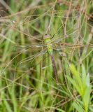 Macro of Common Green Darner Anax junius Hanging from Branches stock image