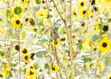 Macro of a Common Green Darner Anax junius in Wild Sunflowers royalty free stock images