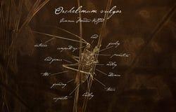 Macro of Common Meadow Katydid Orchelimum vulgar Old Fashioned Anatomy Illustration stock images