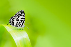 Macro common pierrot butterfly on green grass and green backgrou Stock Photos