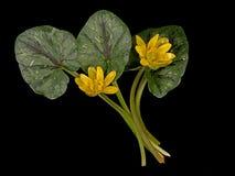Ranunculus ficaria - Lesser celandine, spring wild flower Royalty Free Stock Images