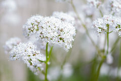 Macro of a common valerian Royalty Free Stock Image