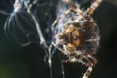 Macro commun d'araignée de jardin d'Européen sur le Web Images libres de droits