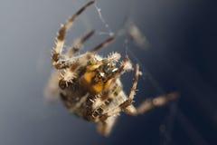 Macro commun d'araignée de jardin d'Européen sur le Web photos libres de droits