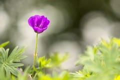Macro como de cuento de una sola pequeña flor púrpura de la anémona con el fondo del bokeh fotos de archivo libres de regalías