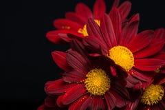 Macro composition of red velvet chrysanthemum flowers on black b Stock Image