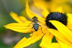 Macro comune della mosca Fotografia Stock