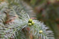 Macro coni dell'araucaria Ramo conifero verde Albero dell'araucaria Pino cileno Immagine Stock Libera da Diritti