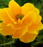 Macro copies de beaux-arts de papier peint de fond de fleur rose jaune images libres de droits