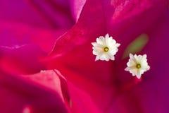 Macro cor-de-rosa da flor Fotografia de Stock