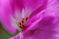Macro cor-de-rosa da flor Fotos de Stock Royalty Free