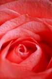 Macro cor-de-rosa da flor da cor-de-rosa Imagem de Stock Royalty Free