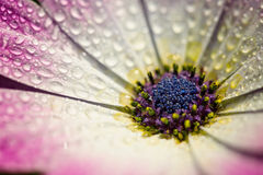 Macro cor-de-rosa da flor da margarida de Gerber com gotas de água nas pétalas Fotografia de Stock