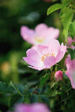Macro cor-de-rosa da flor do cão Imagens de Stock Royalty Free