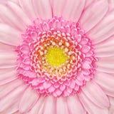 Macro cor-de-rosa da flor do Gerbera Fotografia de Stock