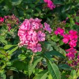 Macro cor-de-rosa do flox Flores de florescência cor-de-rosa do flox Fundo do verão imagem de stock