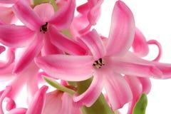 Macro cor-de-rosa do hyacinth Fotos de Stock