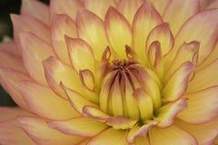 Macro cor-de-rosa e amarelo da flor Fotografia de Stock