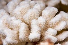 Macro coralina blanca del primer como fondo Fotografía de archivo